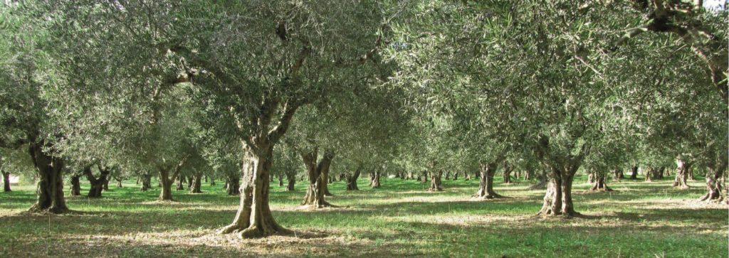 Olivenöl Gewinnung | Olivenhain