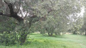 Olivenhain Kreta