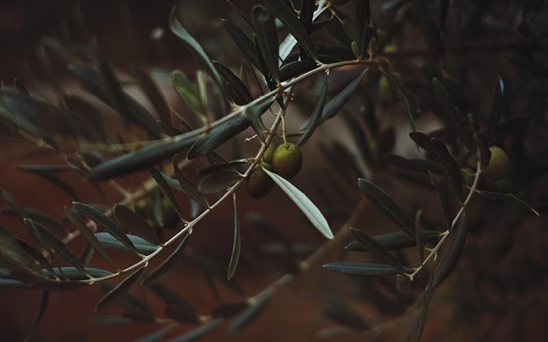 Tödliche Olivenernte
